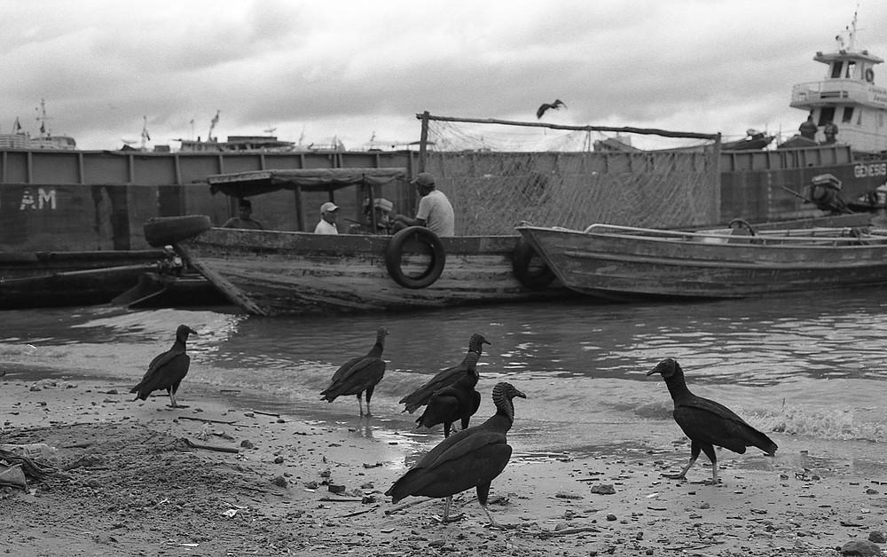 Urubu. Porto de Manaus, Brasil