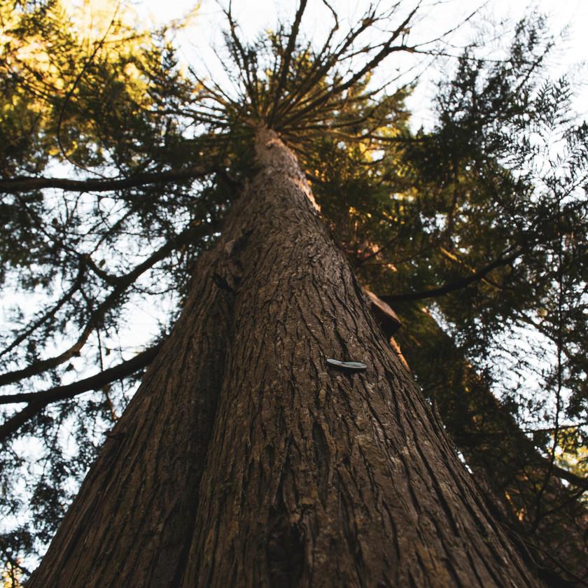 2. Western Red Cedar