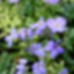 Aubrieta Royal Blue.jpg
