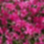 Phlox subulata 'Scarlet Flame'.jpg