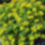 Sedum floriferum 'Weihenstephaner Gold'.