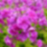 Phlox paniculata 'Lilac Flame'.jpg