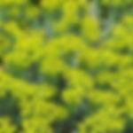Euphorbia myrsinite (jaune).jpg