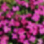 Aubrieta Royal Red.jpg