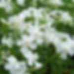 Phlox subulata 'White Delight'.jpg