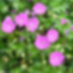 Geranium sanguineum 'Max Frei'.jpg