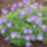 Campanula carpatica 'Blaue Clips'.jpg