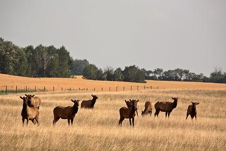 Herd of farm elk in scenic Saskatchewan.