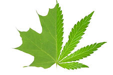 maple-leaf-or-pot-leaf-2-8612-1455731239