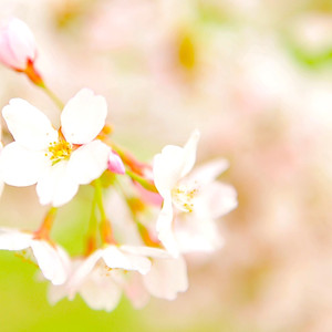 Fukushima Spring