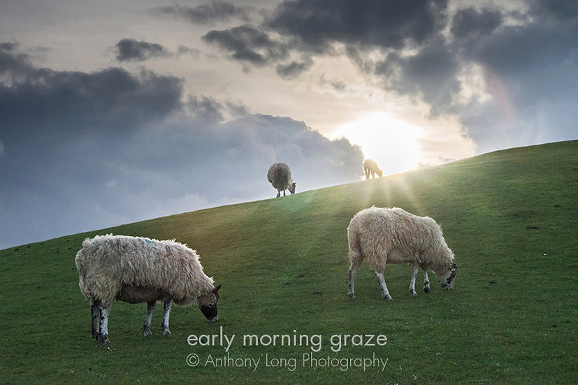 Early morning graze