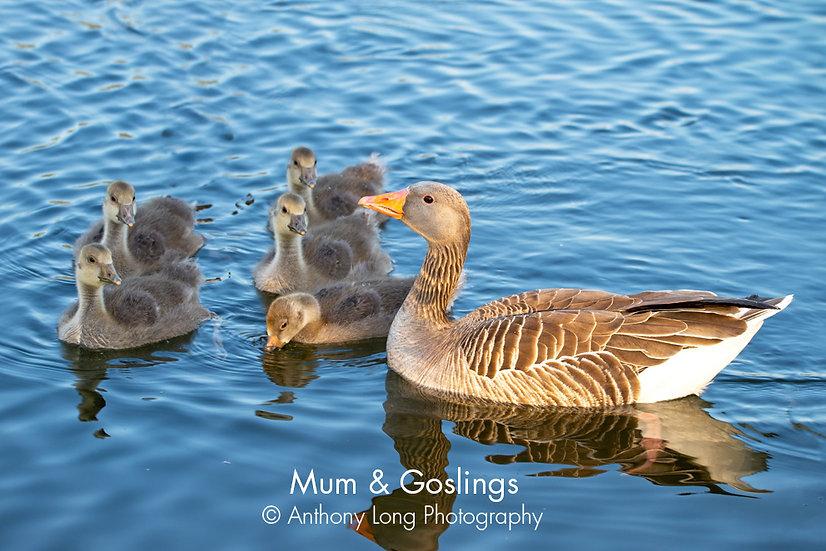 Mum & Goslings