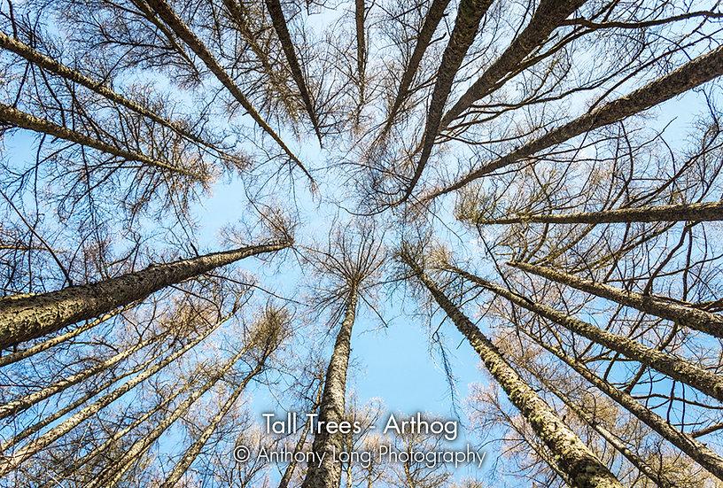 Tall Trees, Arthog