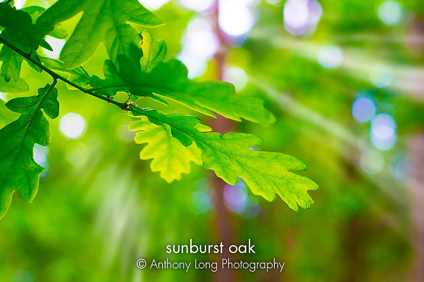 Sunburst Oak