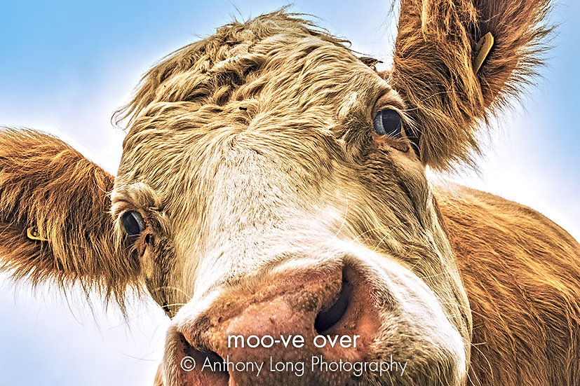 Moo-ve over