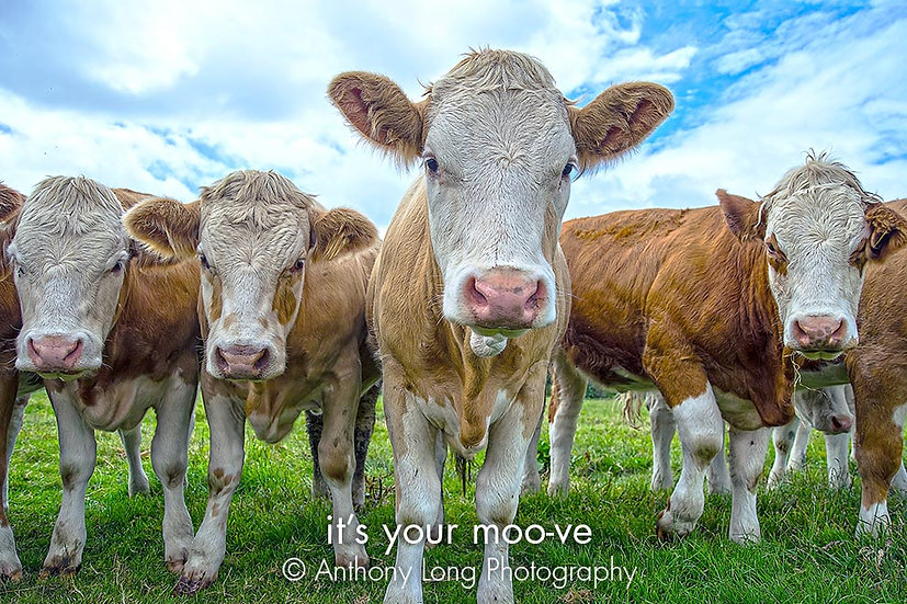 It's your moo-ve