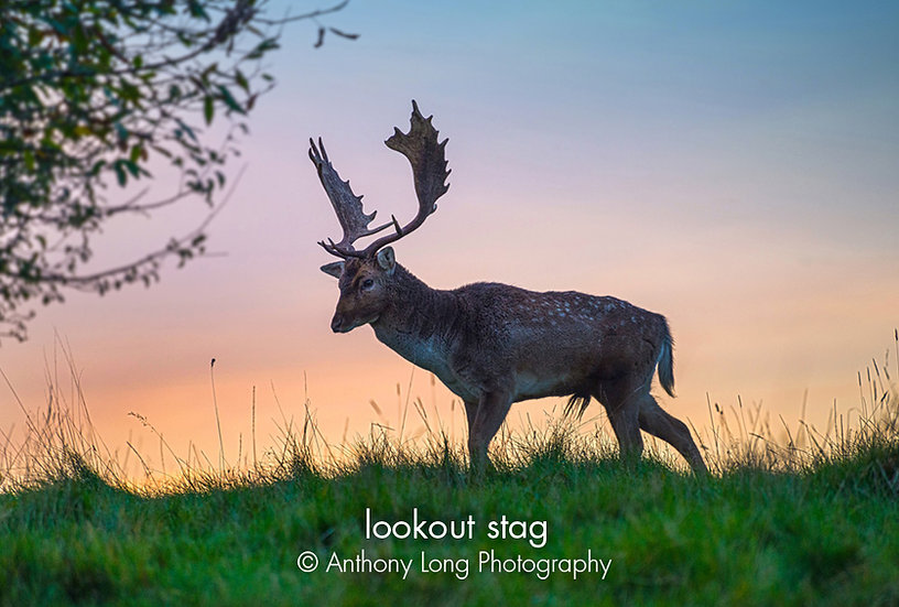 Lookout stag