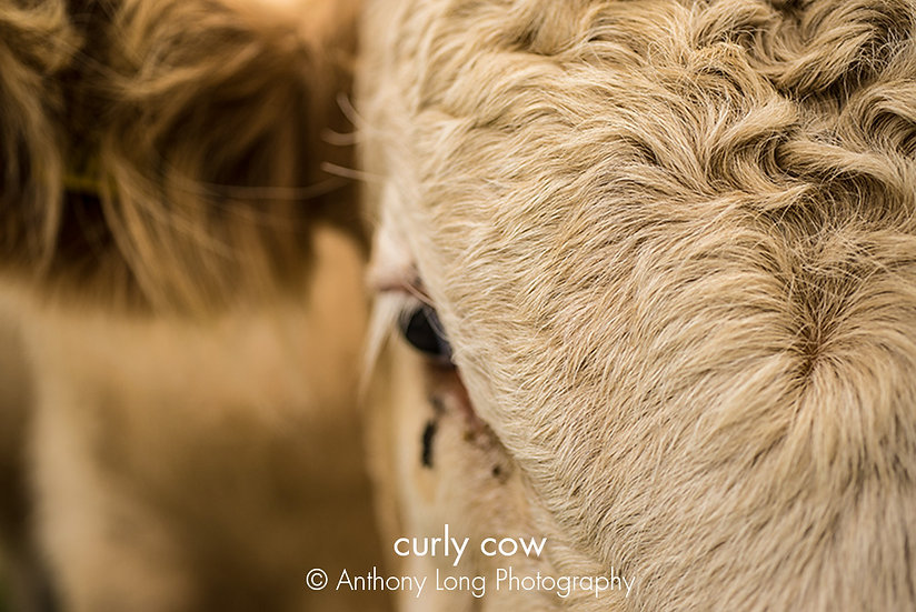 Curly cow
