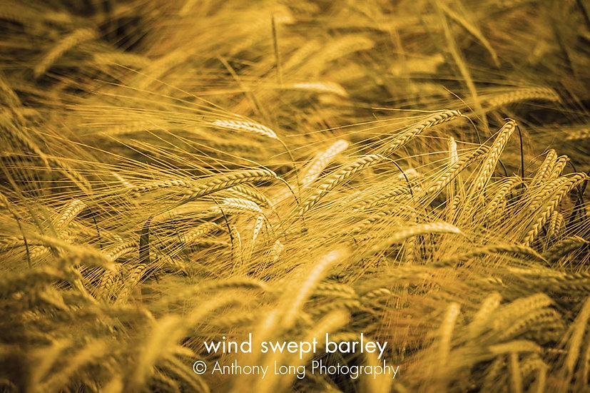 Wind swept barley