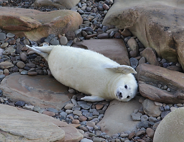 Grey Seal Pup Orkney