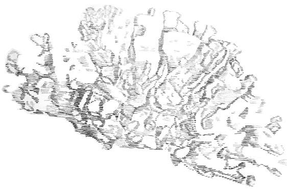 Récif pulmonaire - dessin