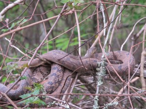 Snake sunning itself