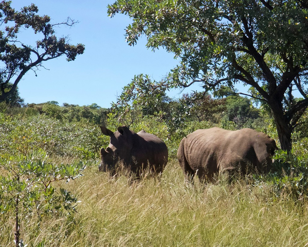 White Rhino in the Matopo Hills National Park