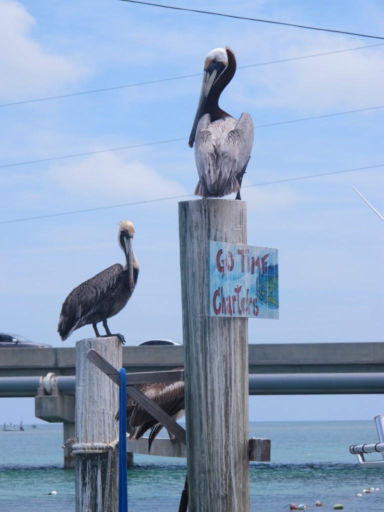 Pelicans at Robbie's Marina, Islamorada.