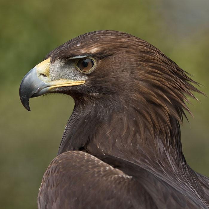 Copyright - British Birds of Prey Centre