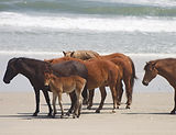 wild foal outer banks.jpg