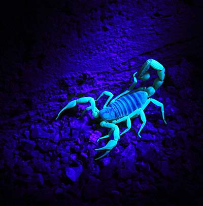 Scorpions skeletons glow under black light torch