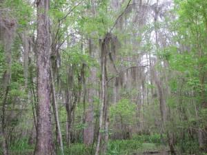 Pearl River Swamp