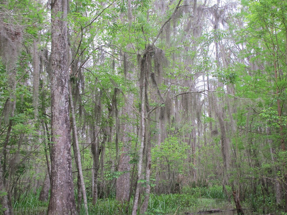 Pearl River Swamp near New Orleans