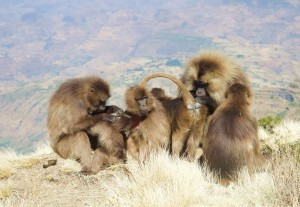 Gelada monkeys in the Simien Mountains of Ethiopia