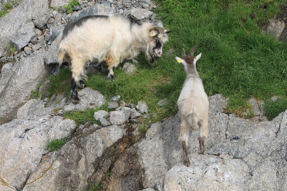 Mountain goats in Lysefjord.