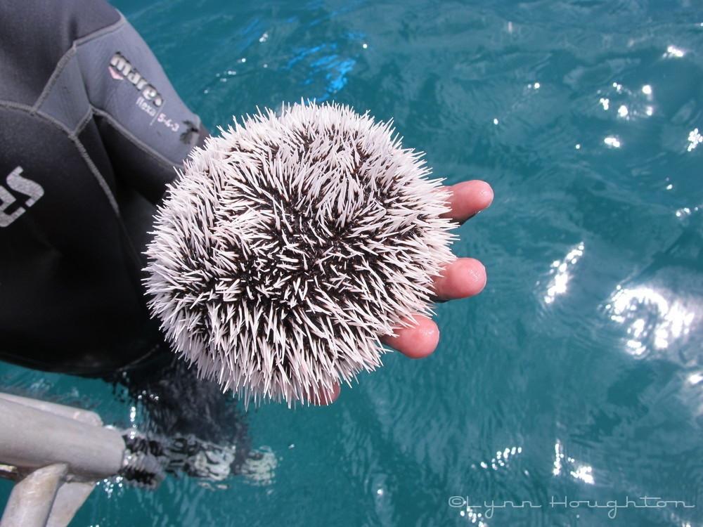 Sea Urchin, Caribbean Sea