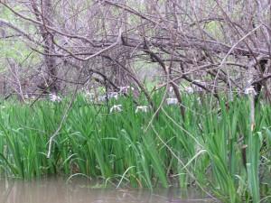A profusion of wild irises