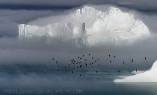 Carsten Egevang awarded as winner in the worlds largest nature photo contest