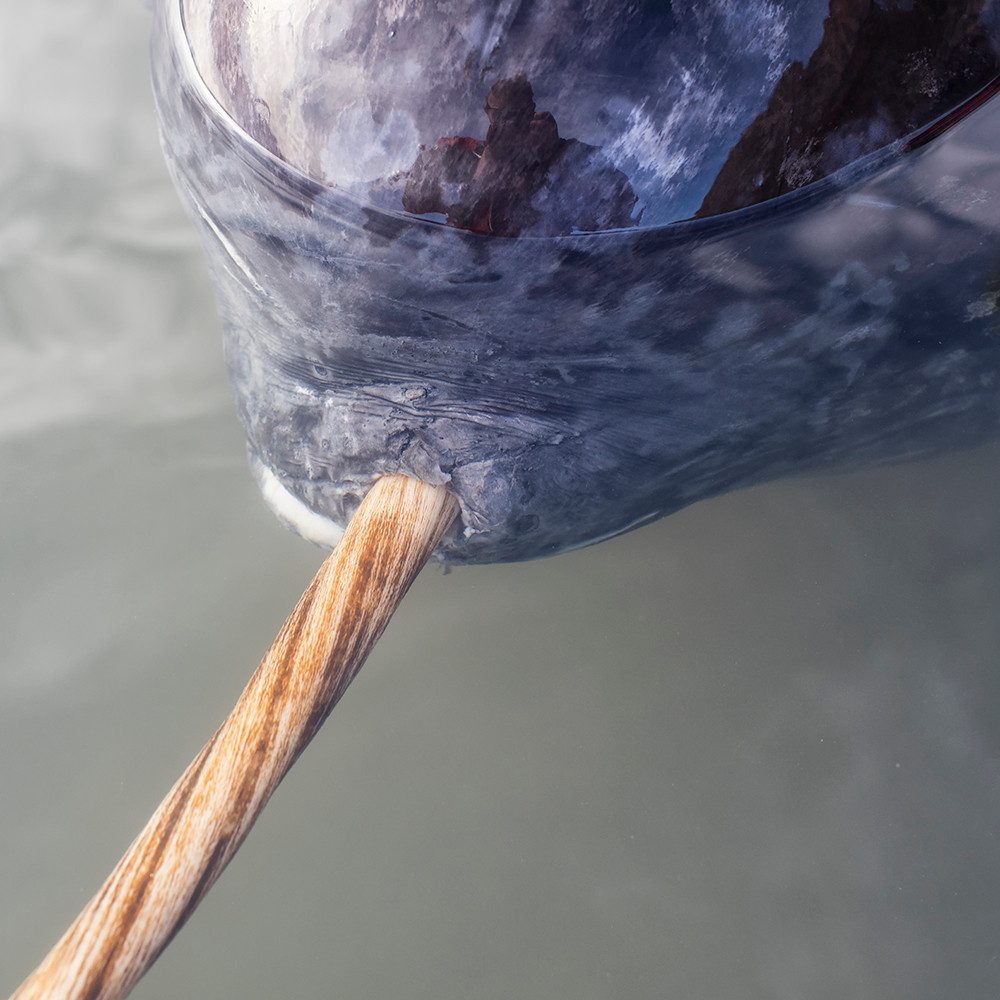The left-twisted tusk of the narwhal (Monodon monocerus) is the front tooth that from the age of 2-3 years, grows out of the left side of the upper lip of the animal.