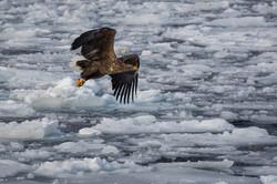 CEG_9846 - Sea Eagle, Nuuk, March