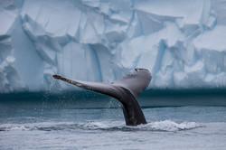 CEG_1375 - Humpback Whale, Ilulissat, September