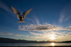 CEG_5086 - Arctic Tern, Daneborg, August