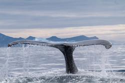 L1100344 - Humpback whale, Tasiilaq,July