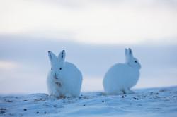 CEEG4385 - Polar Hare, Thule, April