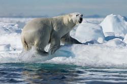 DJ5P0317 - Polar Bear, Thule, June