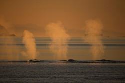 CEG_9705 - Finwhales, Uummannaq, July
