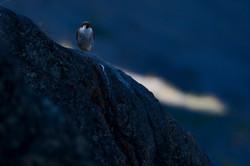 CEG_8872 - Peregrine Falcon, Kangerlussuaq, June