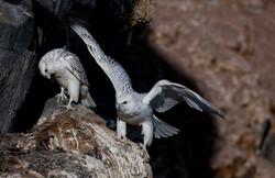 IMG_6177 - Gyr Falcon, Thule, August