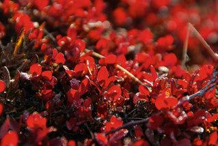 Autumn colors, Black bearberry