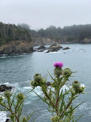 Mendocino Coast thistle.
